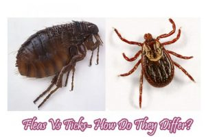 Fleas Vs Ticks- How Do They Differ