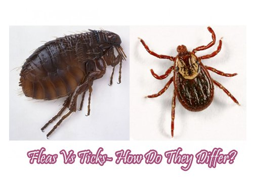 Flea Vs Tick- How Do They Differ?