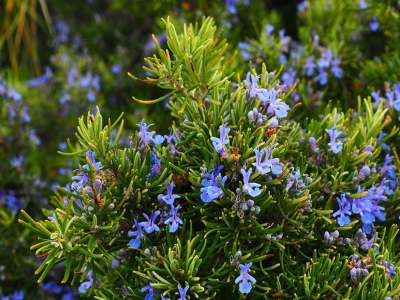 rosemary against ticks
