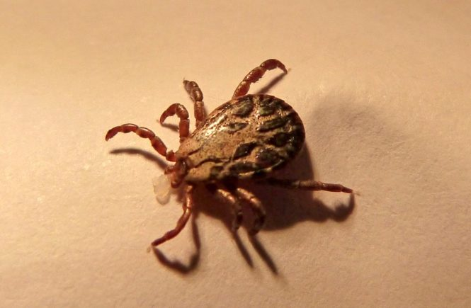 what are ticks, what repels ticks
