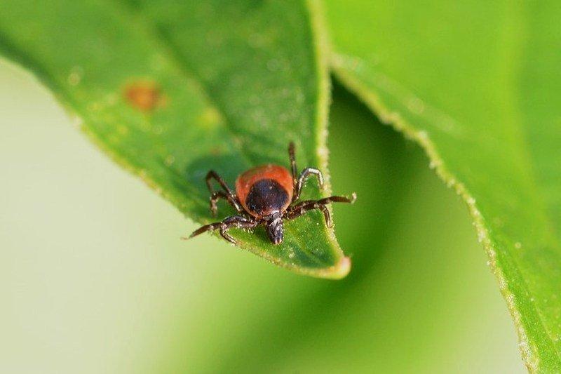 do ticks fall from trees