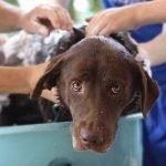 Flea And Tick Shampoo For Dogs