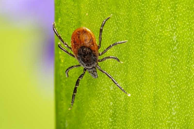 Tick Repellent Guide - What Repels Ticks On Humans And Pets