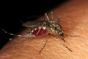 Mosquito What Is DEET And How Does It Repel Bugs