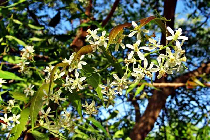 neem tree with flower